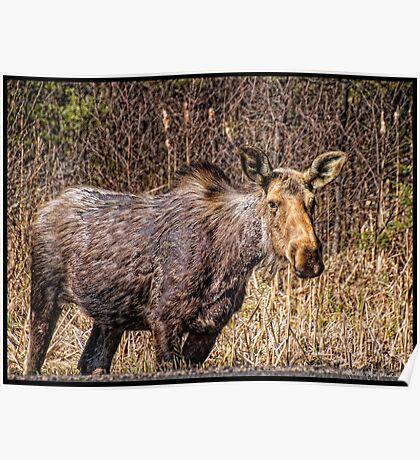 Algonquin Park Moose Poster