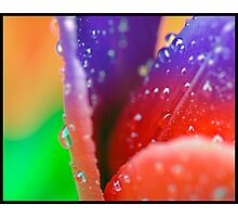 Tulip in the rain in transition  Photographic Print