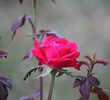 Tender Rose by Bob Hardy