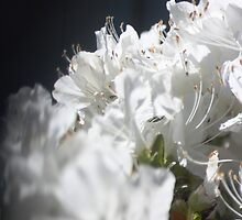Free-lensing White Azalea by Chinita128