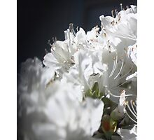 Free-lensing White Azalea Photographic Print