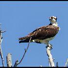 Osprey on high by greyrose