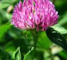 Just Red Clover or a Beautiful Wildflower-You Decide by Ron Russell