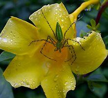 Green spider on wet yellow flower, Thailand by John Spies