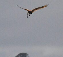 Hawk a'hunting - Twelve Apostles, Victoria by Heather Samsa