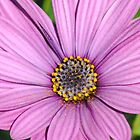 Daisy in pink by Heather Samsa