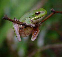 Litoria Fallax -  Eastern Dwarf Tree Frog  by Gabrielle  Lees