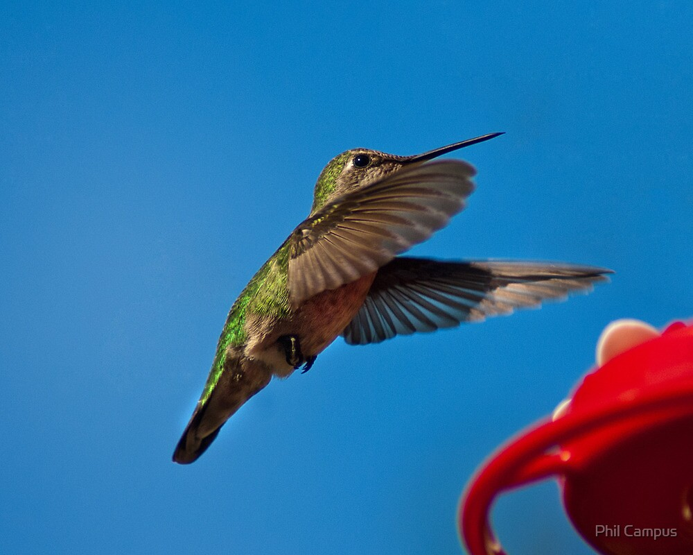 Humming Bird Landing by Phil Campus