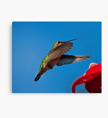 Humming Bird Landing Canvas Print