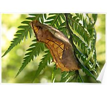 Cairns birdwing Pupa Poster