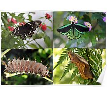 Poster size of the Cairns birdwing Butterfly Poster