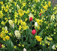 A Splash of Scarlet - Tulips among the Daffodils by Kathryn Jones