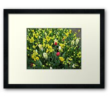 A Splash of Scarlet - Tulips among the Daffodils Framed Print
