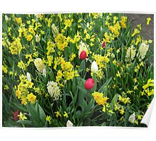 A Splash of Scarlet - Tulips among the Daffodils Poster