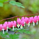 A String of Hearts... by Carol Clifford
