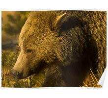 Grizzly Sow-Signed-4855 Poster