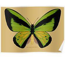 Male Goliath Birdwing Butterfly Poster