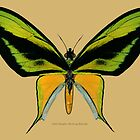Male Paradise Birdwing Butterfly by Walter Colvin