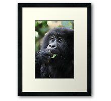 Juvenile Mountain Gorilla, Kwitonda Group, Rwanda Framed Print