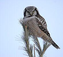 Northern Hawk Owl by Bryan Shane