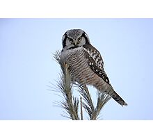 Northern Hawk Owl Photographic Print