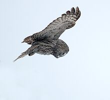 Great Grey Owl on the Hunt by Bryan Shane