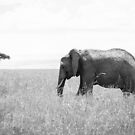 Elephant of Masai Mara by Gavin Poh