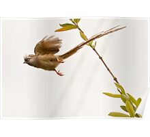 Speckled Mousebird in flight Poster