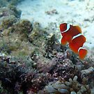 ANYONE OUT THERE - CLOWN FISH by springs