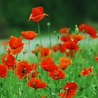 Poppies by the Road by Barbara Muller