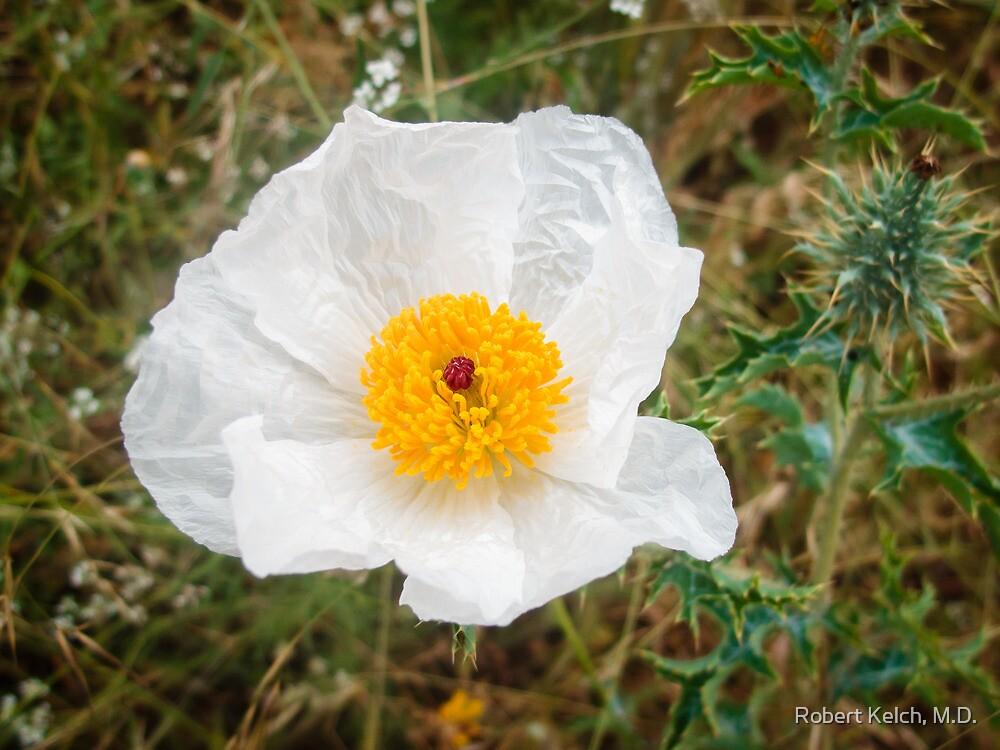 White Prickly Poppy  by Robert Kelch, M.D.