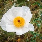 White Prickly Poppy  by Robert Kelch, M.D.