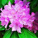 Rhododendron by joevoz