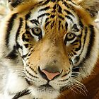 Tiger Face by Guatemwc