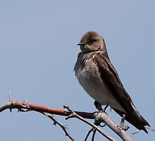Northern Rough-winged Swallow by c painter