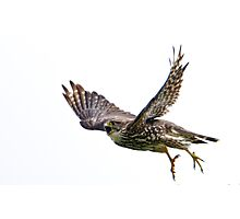 Adult Merlin in Flight on the hunt to feed new chicks.  Photographic Print