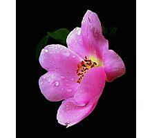 WILD ROSE... Photographic Print
