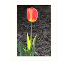 Backlit solo tulip Art Print