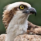 Osprey (Profile) by Jeff Ore