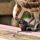 Osprey Eating a Fish 2 by Jeff Ore