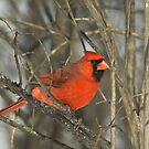 Cardinal in the spring by gregsmith
