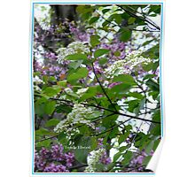 Blackhaw and Redbud Blossoms Mingle in the Morning Breeze. Poster