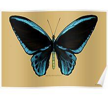 Blue Birdwing Butterfly Poster
