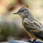 Young Say&#x27;s Phoebe  by Saija  Lehtonen