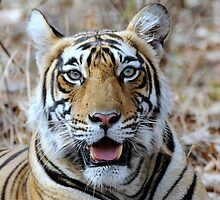Young female Tiger Indian National Park by vawtjwphoto