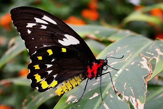 Cairns Birdwing with Her Eggs - Ornithoptera euphorion by Lepidoptera
