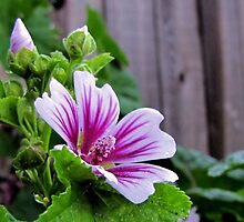 Hollyhock by aprilann