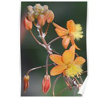Beautiful Bulbine Poster