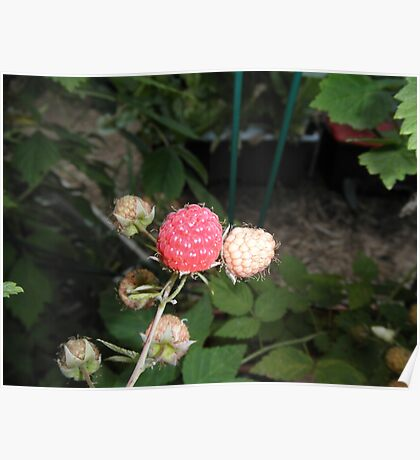 Rasberry in our garden Poster