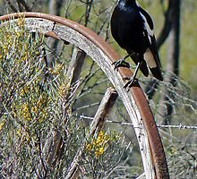 All Australian Magpie by DarthIndy